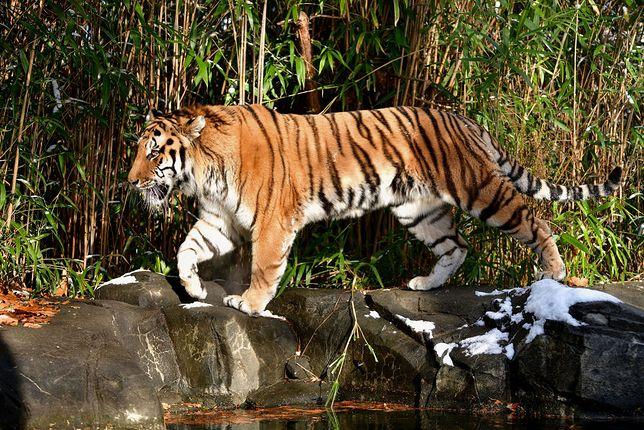Koronawirusa wykryto u tygrysa z nowojorskiego ZOO