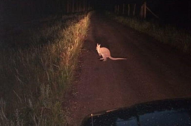 Jedziesz sobie ulic± a tu nagle wyskakuje na ciebie kangur, czyli kolejny zwyk³y dzieñ w kujawsko-pomorskim